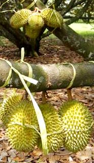 Sensasi Makan Durian Di Taman Wisata Mekarsari 237