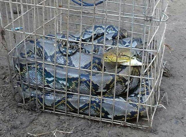 Ular Sanca Batik Ditangkap Warga Cibodas 237